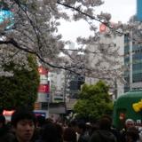 渋谷駅ハチ公前で「2017年春の桜」を鑑賞しました