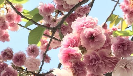 GWはソメイヨシノよりも遅咲きの八重桜を見に行こう!