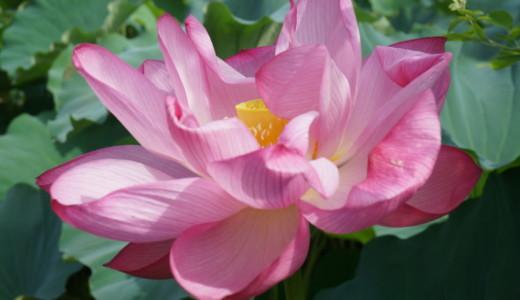 大暑から立秋の朝が見頃!上野の不忍池の蓮の様子
