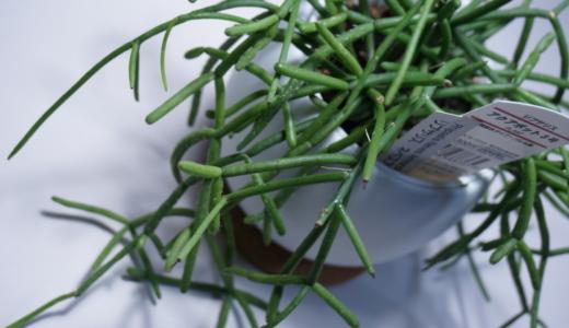 良品のある生活vol.27「観葉植物 アクアポット3号(リプサリス)」レビュー