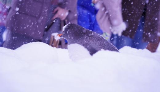 小樽駅から路線バスで約25分!おたる水族館でペンギンの雪中さんぽを見る