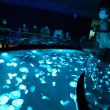 すみだ水族館初の大規模改装!隔てないビッグシャーレでミズクラゲを眺める