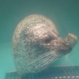 たこの産卵は一生に一度!新札幌にあるサンピアザ水族館でタコの産卵を見る